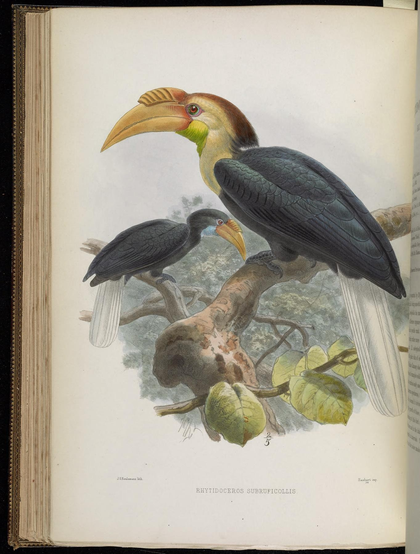 Image of Plain-pouched hornbill
