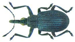 Image of <i>Cyanapion spencii</i> (W. Kirby 1808) W. Kirby 1808
