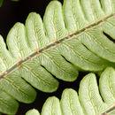Image of <i>Woodwardia virginica</i> (L.) Sm.