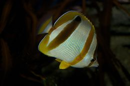 Image of Double sash butterflyfish