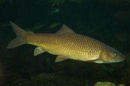 Image of Clanwilliam Yellowfish