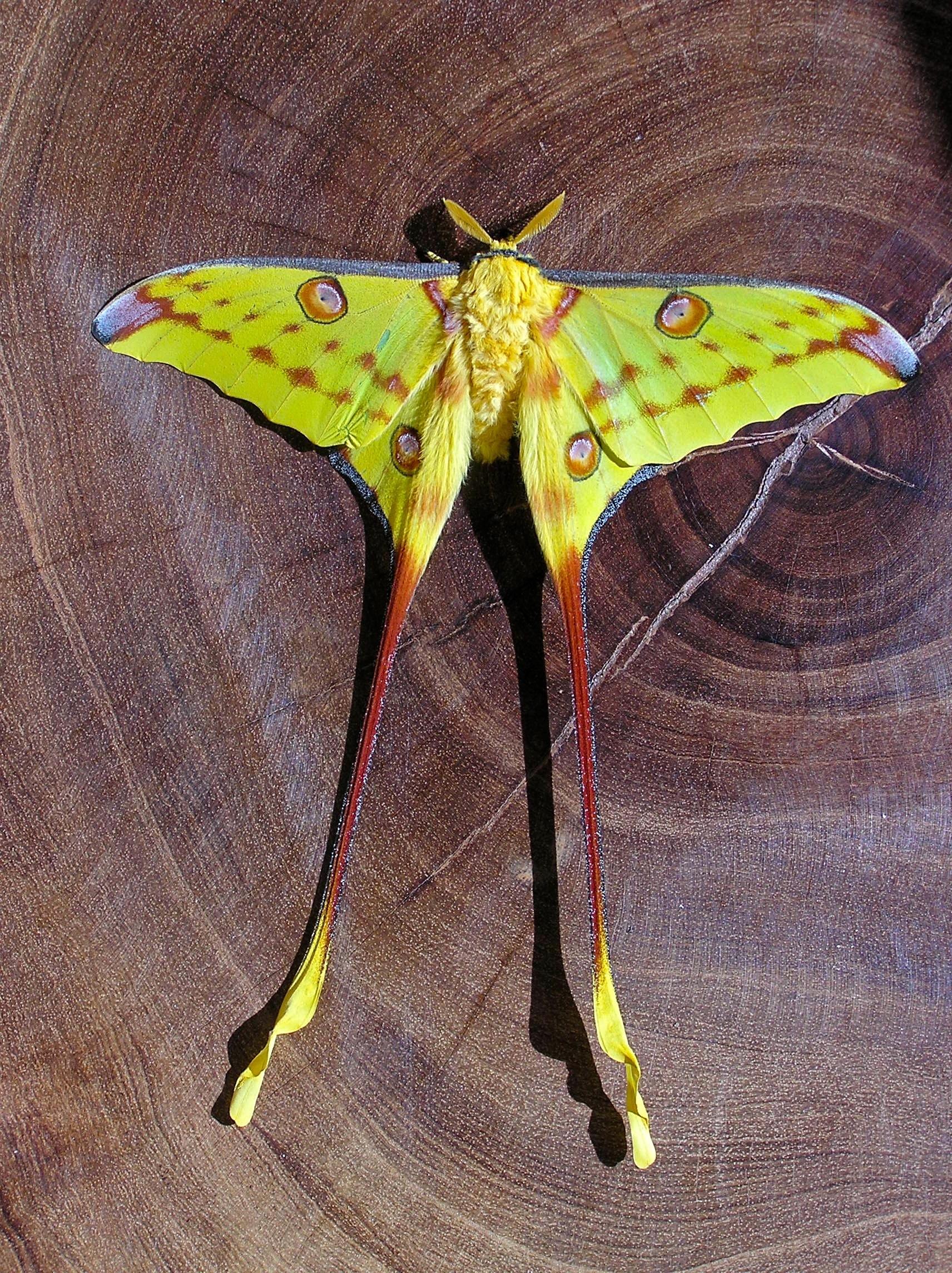 Image of Comet Moth