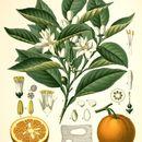 Image of <i>Citrus aurantium</i> L.