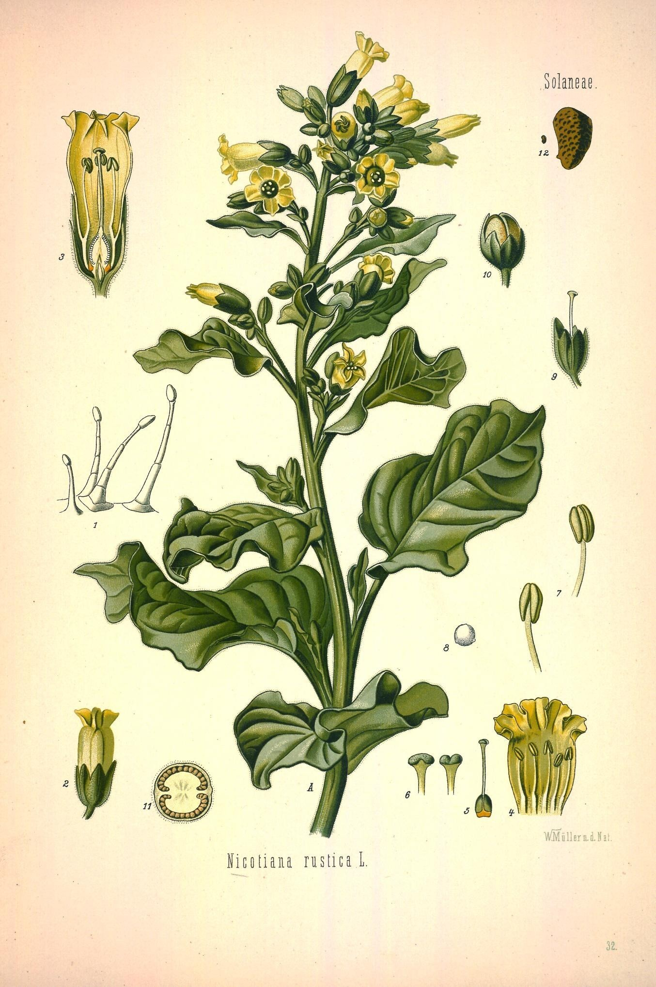 Image of Aztec tobacco
