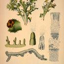 Image of island cetraria lichen