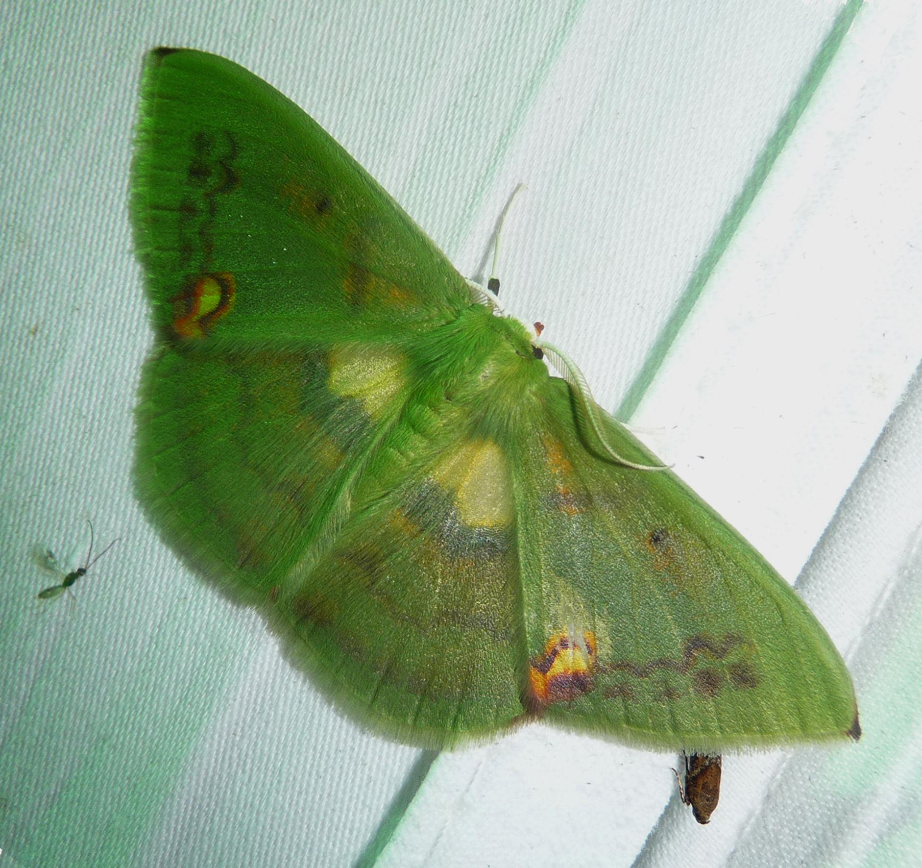 Image of <i>Rhodochlora species</i>