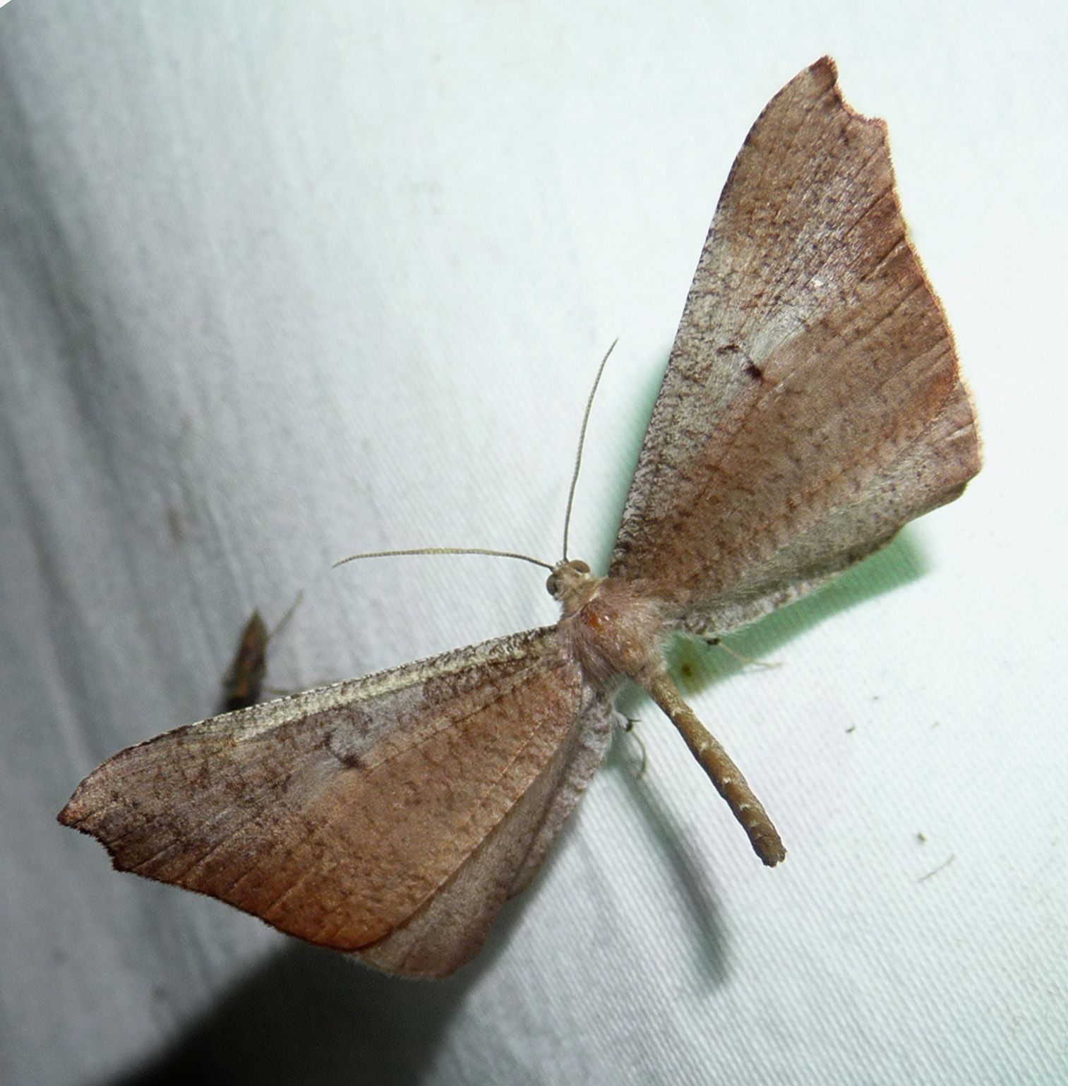 Image of <i>Macrosoma species</i>