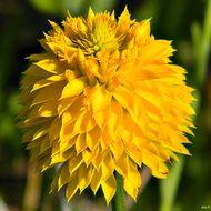 Image of yellow milkwort
