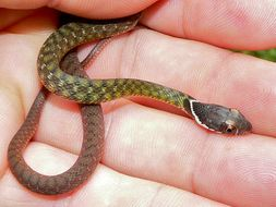 Image of Southern Water Snake