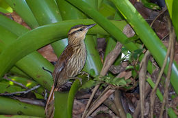 Image of Pale-browed treehunter