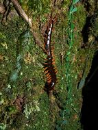 Image of <i>Scolopendra supspinipes</i>