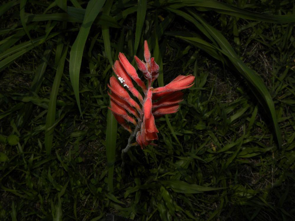 Image of <i>Stenorrhynchos lanceolatum</i>