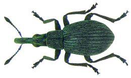 Image of <i>Holotrichapion ononis</i> (W. Kirby 1808) W. Kirby 1808