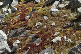 Image of glossy red bryum moss