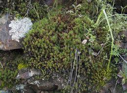 Image of Juniper Haircap Moss