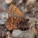 Image of Callophrys