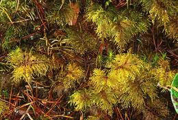 Image of Glittering Wood Moss