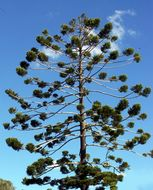 Image of Colonial Pine