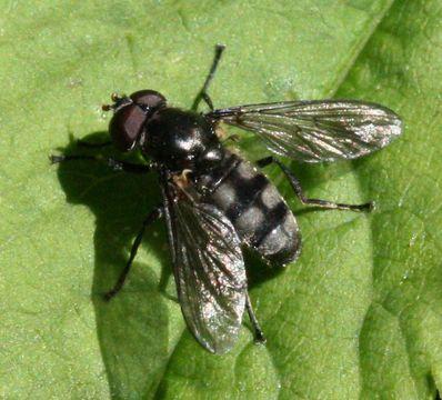 Image of <i>Portevinia maculata</i> (Fallen 1817)