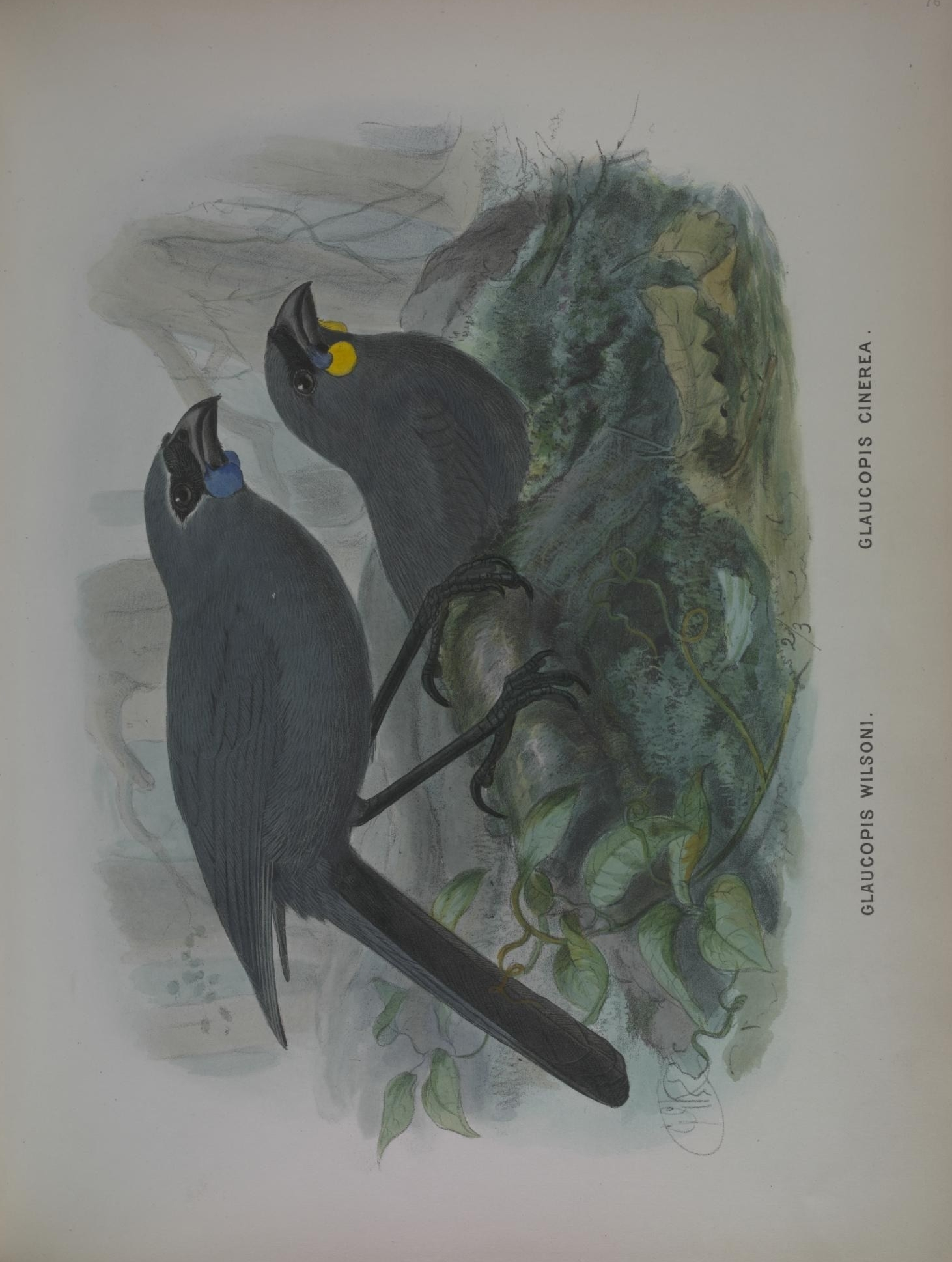Image of kokako