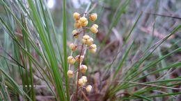 Image of <i>Lomandra <i>filiformis</i></i> filiformis
