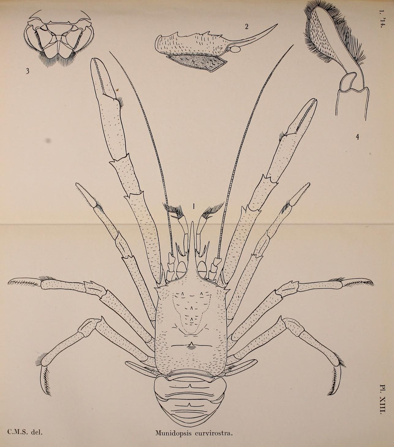 Image of bent-nosed squat lobster