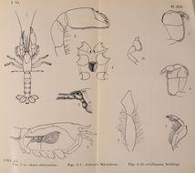 Image of <i>Calocaris macandreae</i> Bell 1853