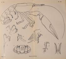 Image of <i>Jaxea nocturna</i> Nardo 1847