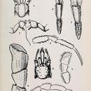Image of <i>Nematopagurus longicornis</i> A. Milne-Edwards & Bouvier 1892