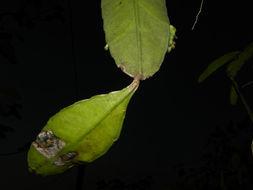 Image of <i>Weberocereus bradei</i> (Britton & Rose) G. D. Rowley