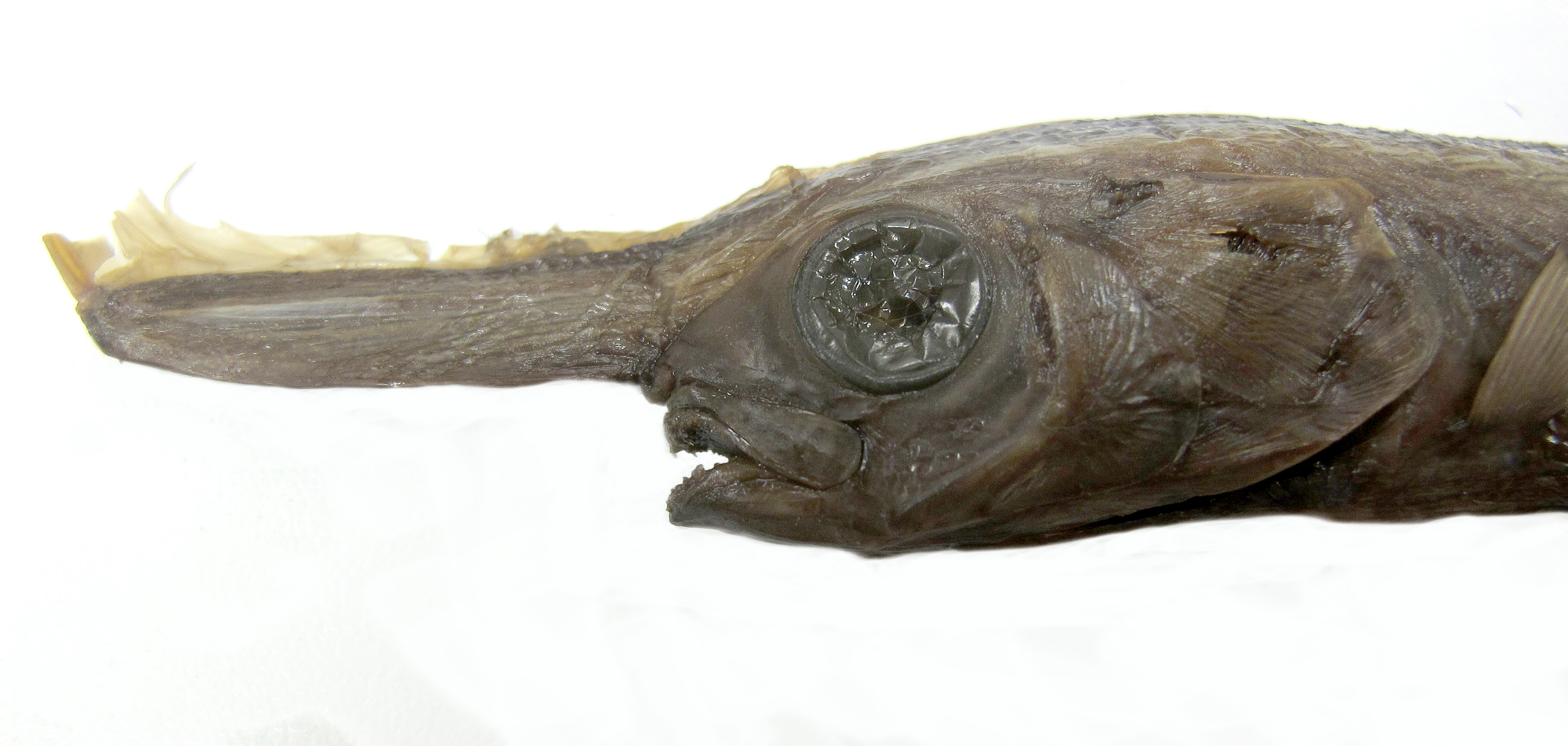 Image of Unicorn Crestfish