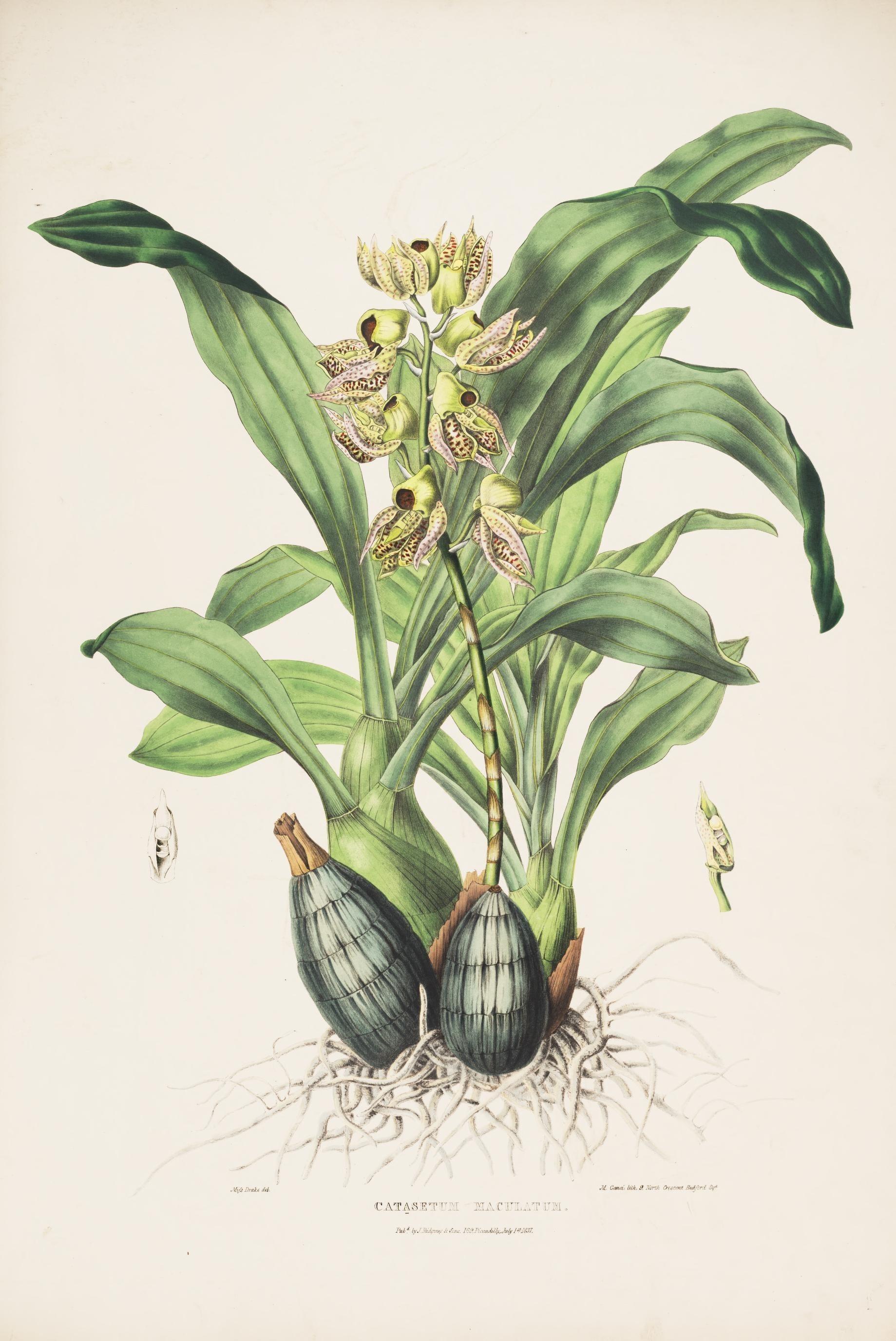 Image of <i>Catasetum maculatum</i> Kunth