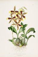 Image of Tiger Orchid