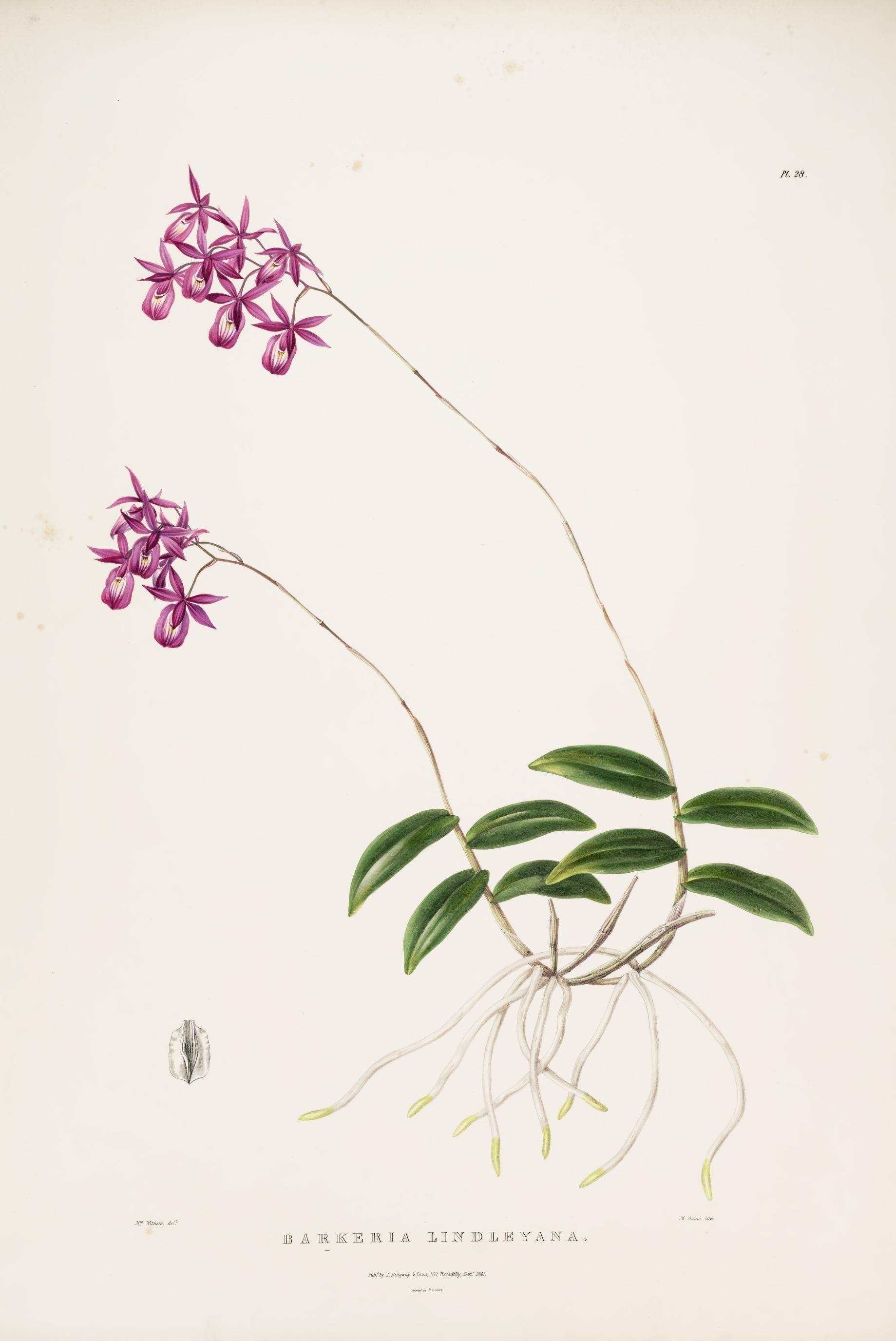 Image of <i>Barkeria lindleyana</i> Bateman ex Lindl.