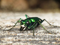 Image of Six Spotted Tiger Beetle
