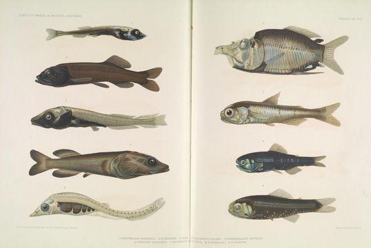 Image of <i>Mentodus rostratus</i> (Günther 1878)