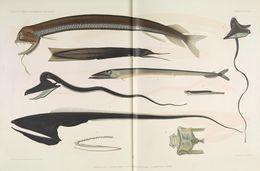 Image of boa dragonfish