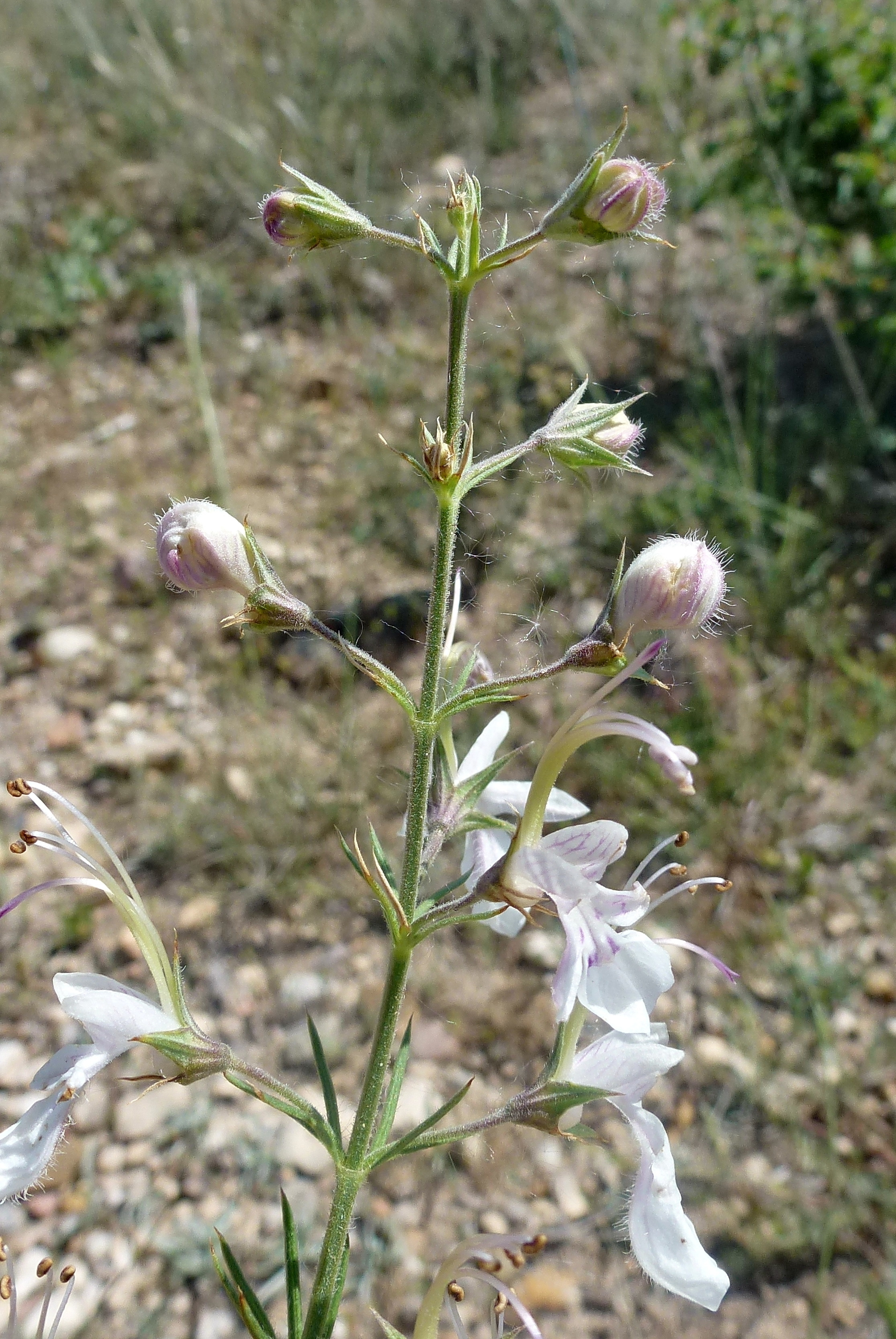 Image of <i>Teucrium pseudochamaepitys</i> L.
