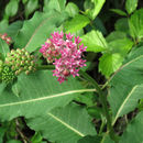 Image of purple milkweed
