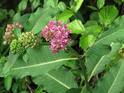 Image of purple milkweed
