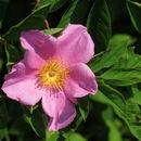 Image of cluster rose