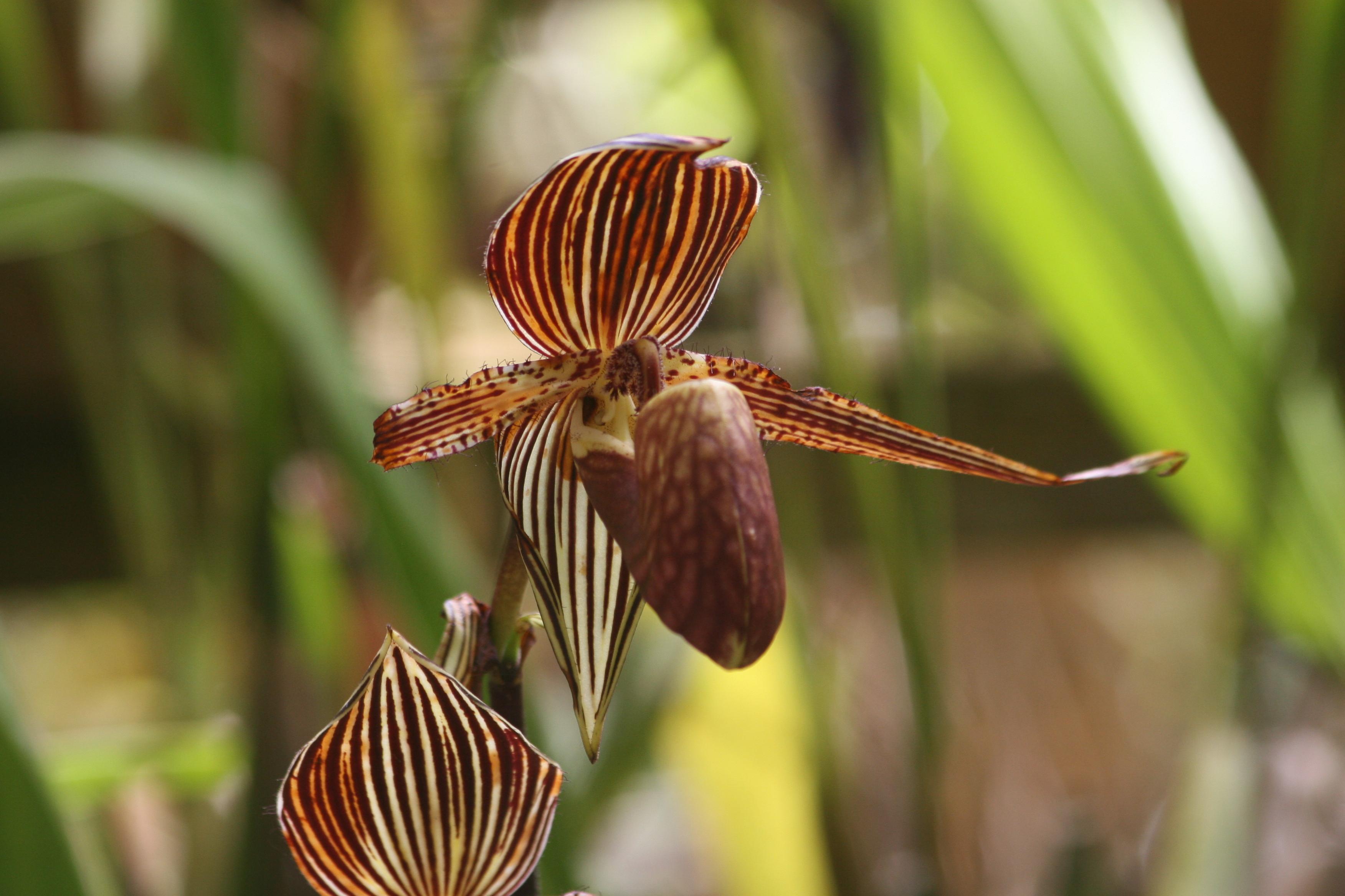 Image of Callus Paphiopedilum