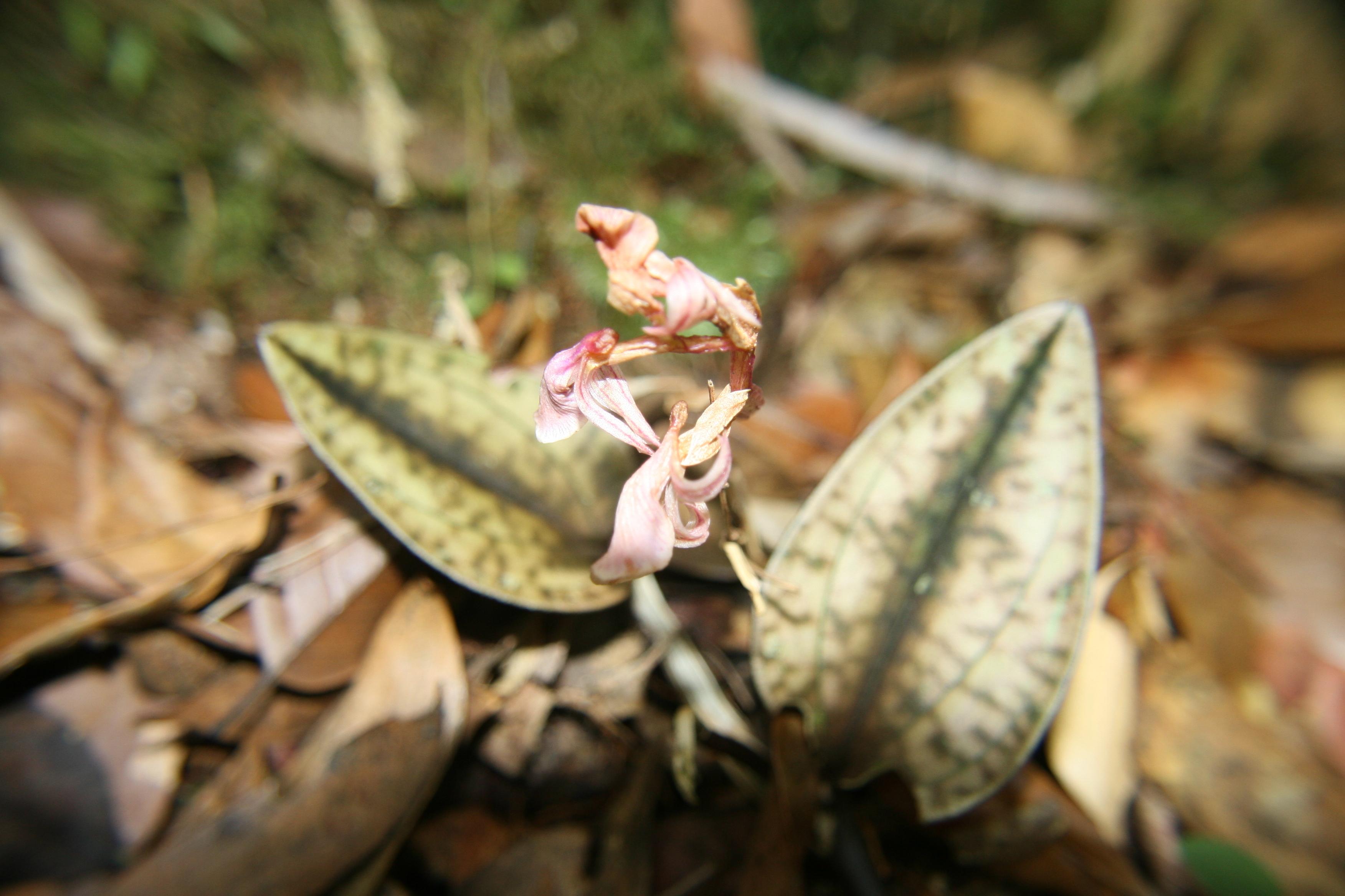 Image of Leaf Litter Orchid