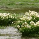 Image of Shoals spider-lily