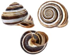 Image of Viennese banded snail