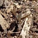 Image of <i>Aleucosia danielsorum</i> Yeates 1991