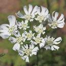 Image of <i>Orlaya grandiflora</i> (L.) Hoffm.