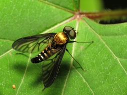 Image of Golden-backed Snipe Fly