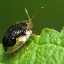Image of Mottled Tortoise Beetle