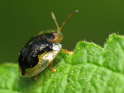 Image of Mottled Tortoise Beetle